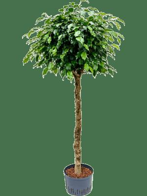 Ficus danielle stamm