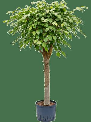Ficus benjamina stamm