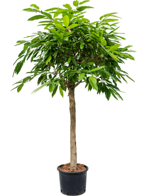 Ficus amstel king stamm
