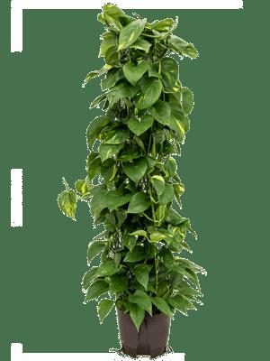 Scindapsus_aureum_säule