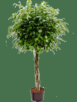 Ficus benjamina stamm geflochten
