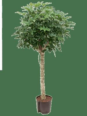 Schefflera arboricola stamm