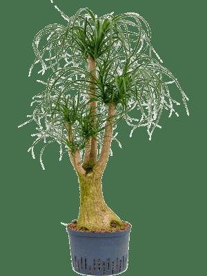 Beaucarnea recurvata verzweigt