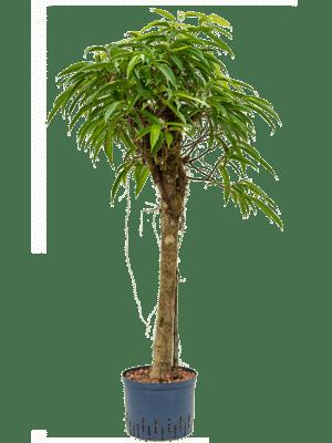 Ficus alii stamm
