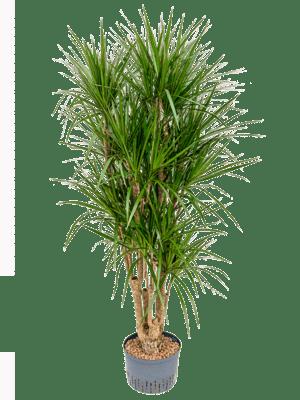 Dracaena marginata verzweigt