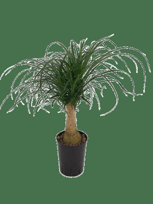 Beaucarnea recurvata stamm 30
