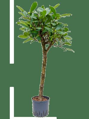Ficus cyathistipula stamm