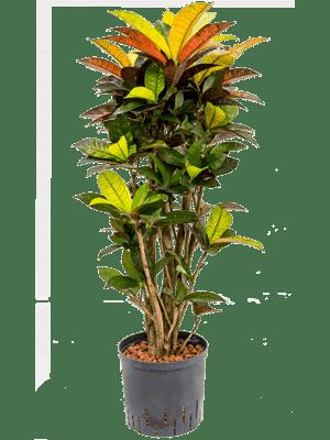 Croton iceton