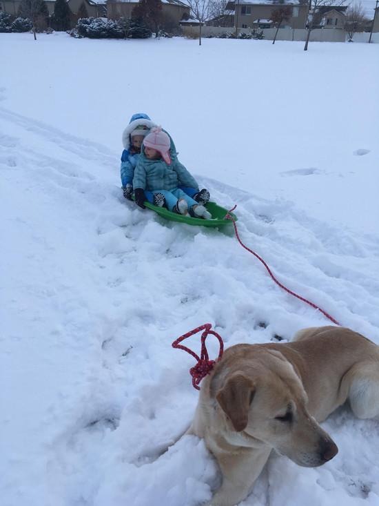 Our trusty dog-sled labrador!
