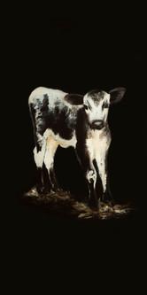 Calf on black 12x24 .jpg