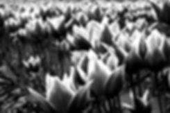 tulips28bw.jpg