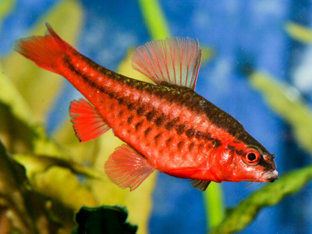 Fish Files - Cherry Barb