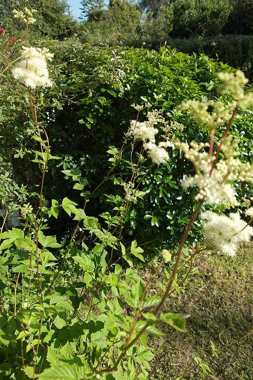 Organic Meadowsweet herb, Filipendula Ulmaria for sale