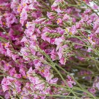 dried Limonium, Natural Pink, Bunch 2.jp