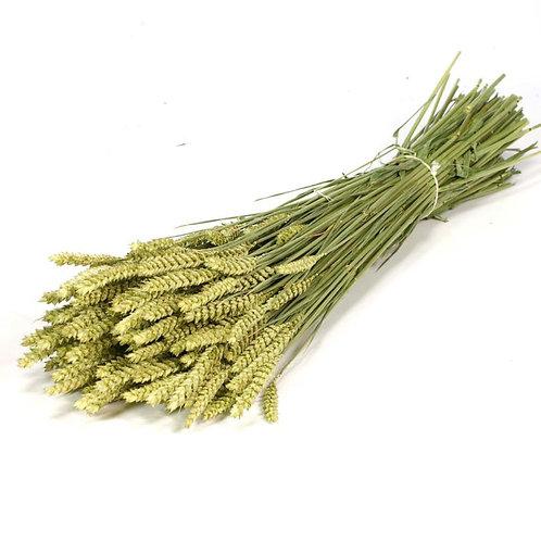 20 Stems of Tarwe (Wheat), Natural Grass Bunch