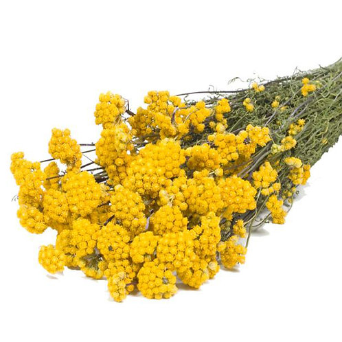 10 Stems of Dried Lona Natural Yellow