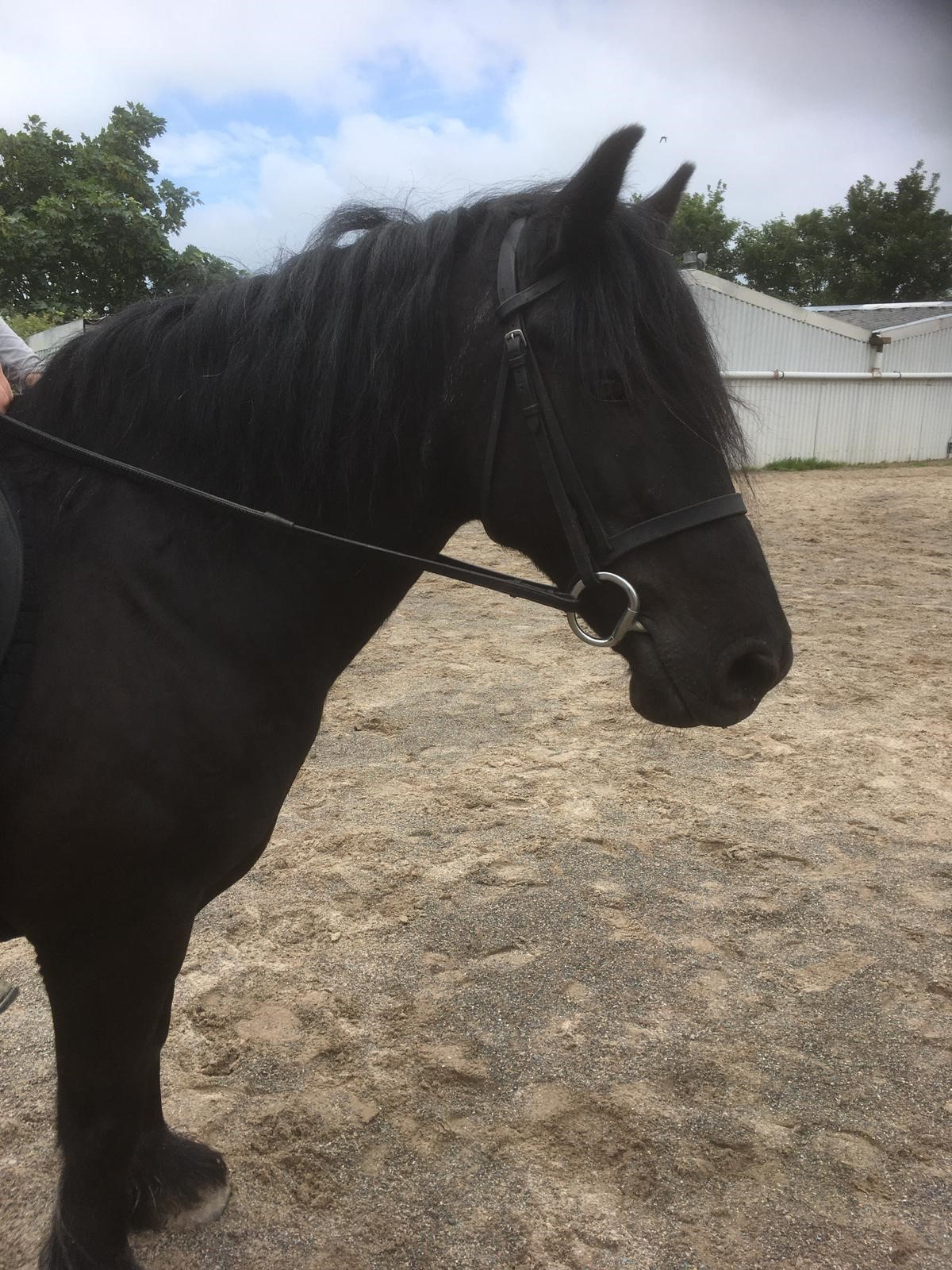 Llannerch black pony head shot