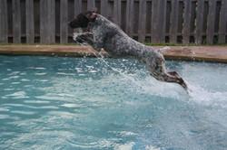 Falcon diving 2