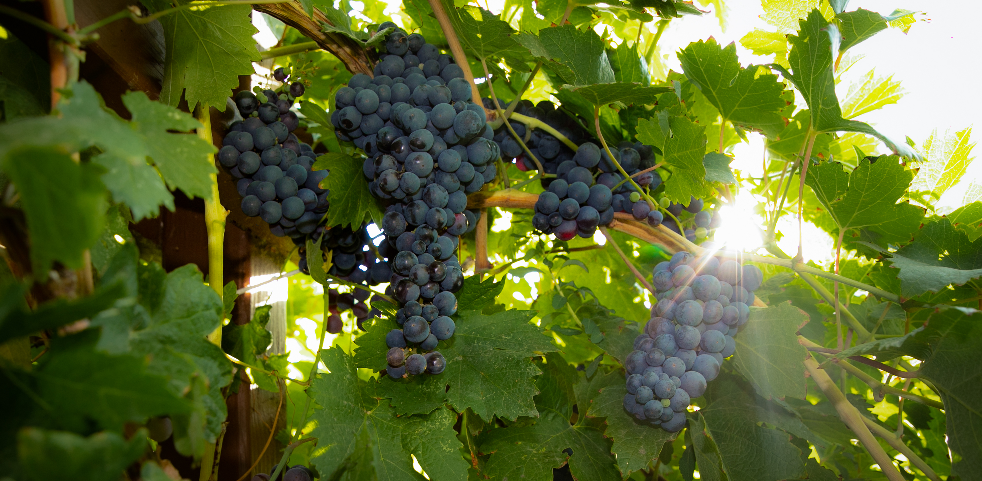 grapes and sunshine2