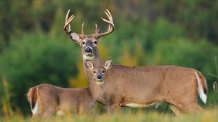 Busted! Nude Deer Hunter...