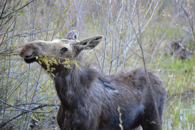 moose eating.JPG