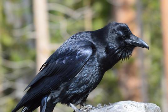 raven_yellowstone.JPG