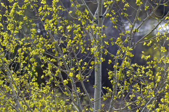 aspen new foliage.JPG