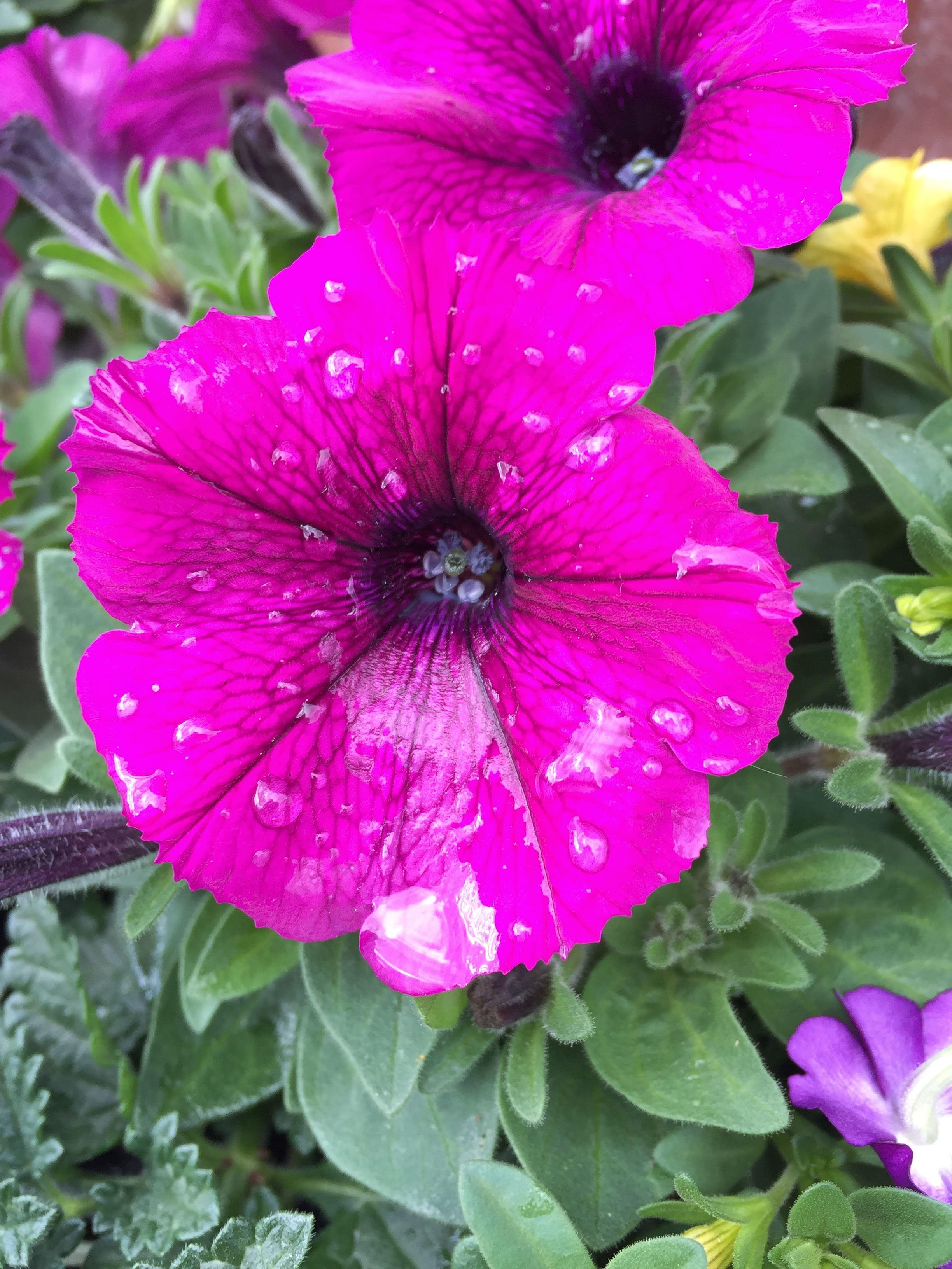 Petunias-summer blooming annual flower_