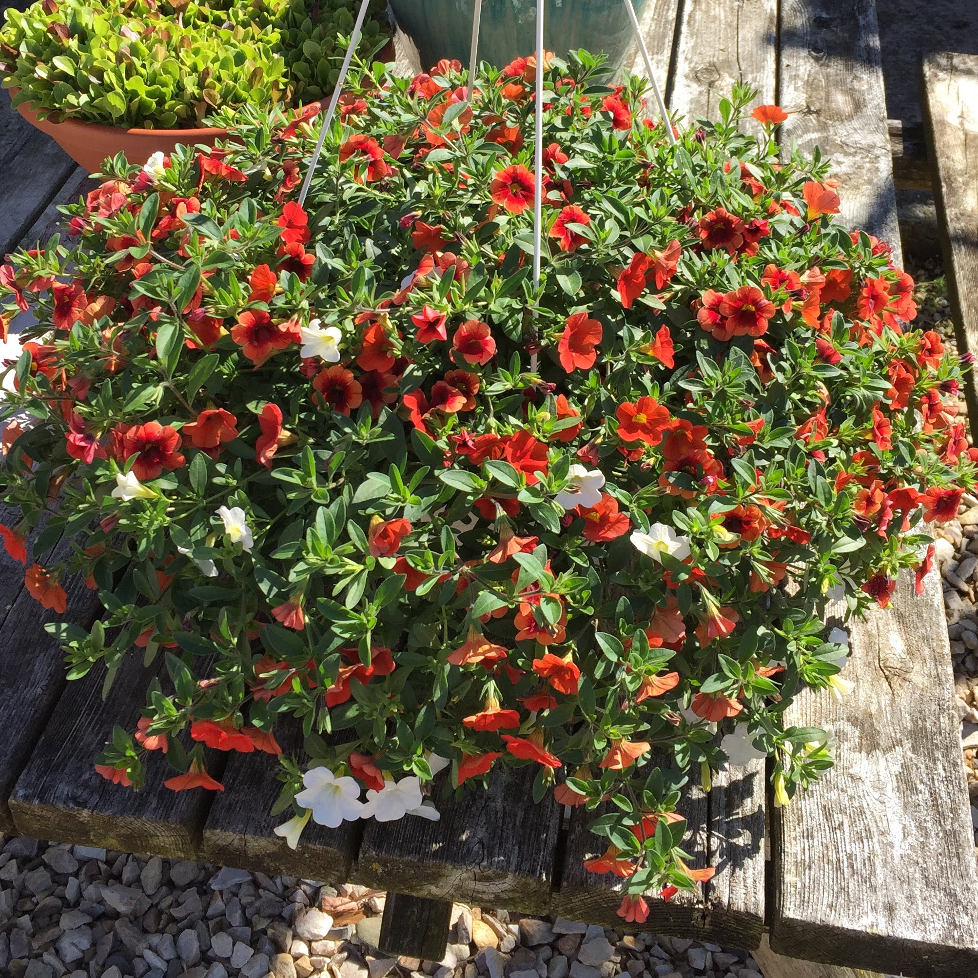 Million Bells combo hanging basket-vario