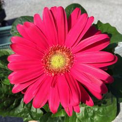 Gerber Daisy-various colors