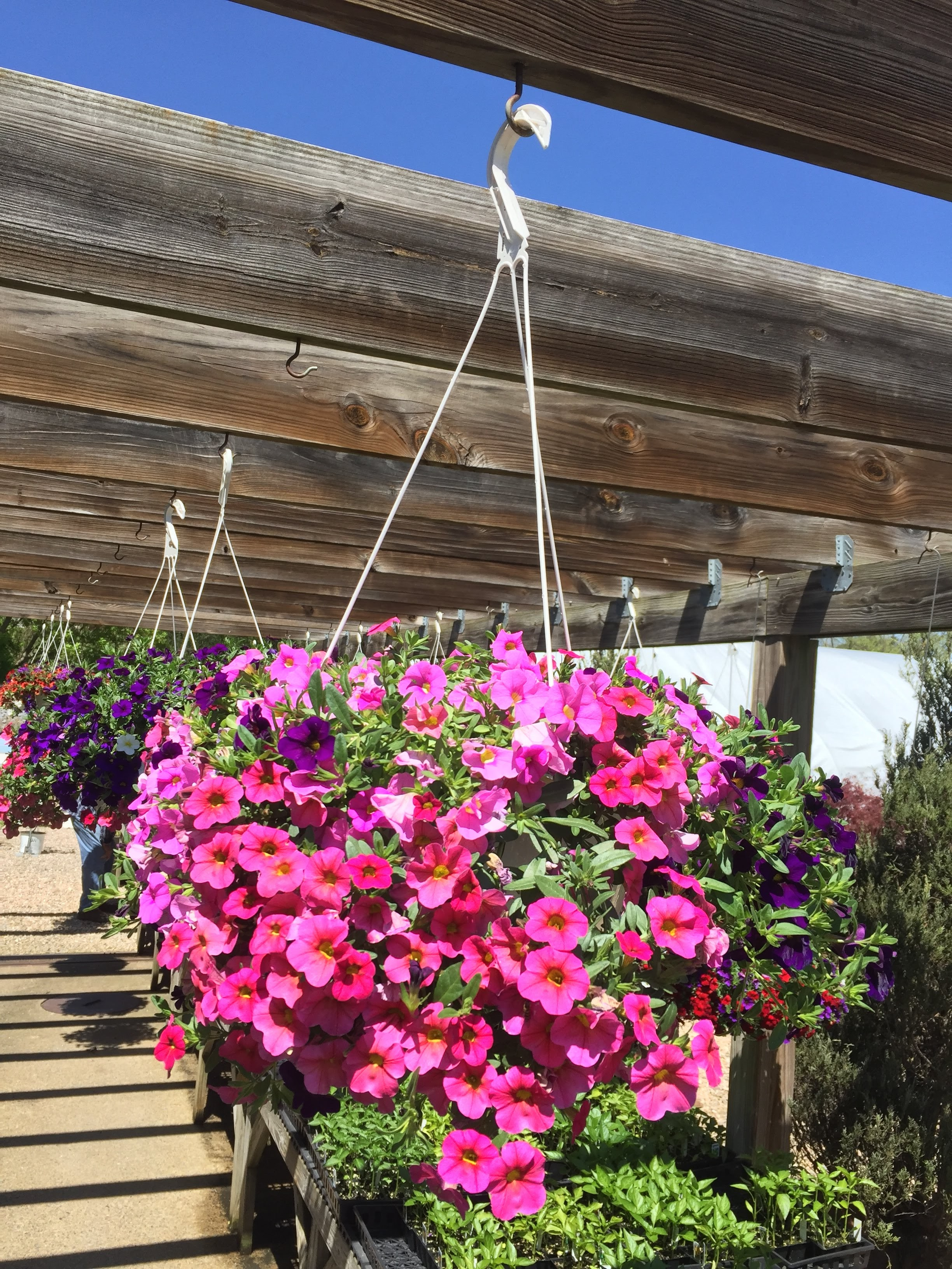 "10"" Hanging Baskets-Petunia combo_"