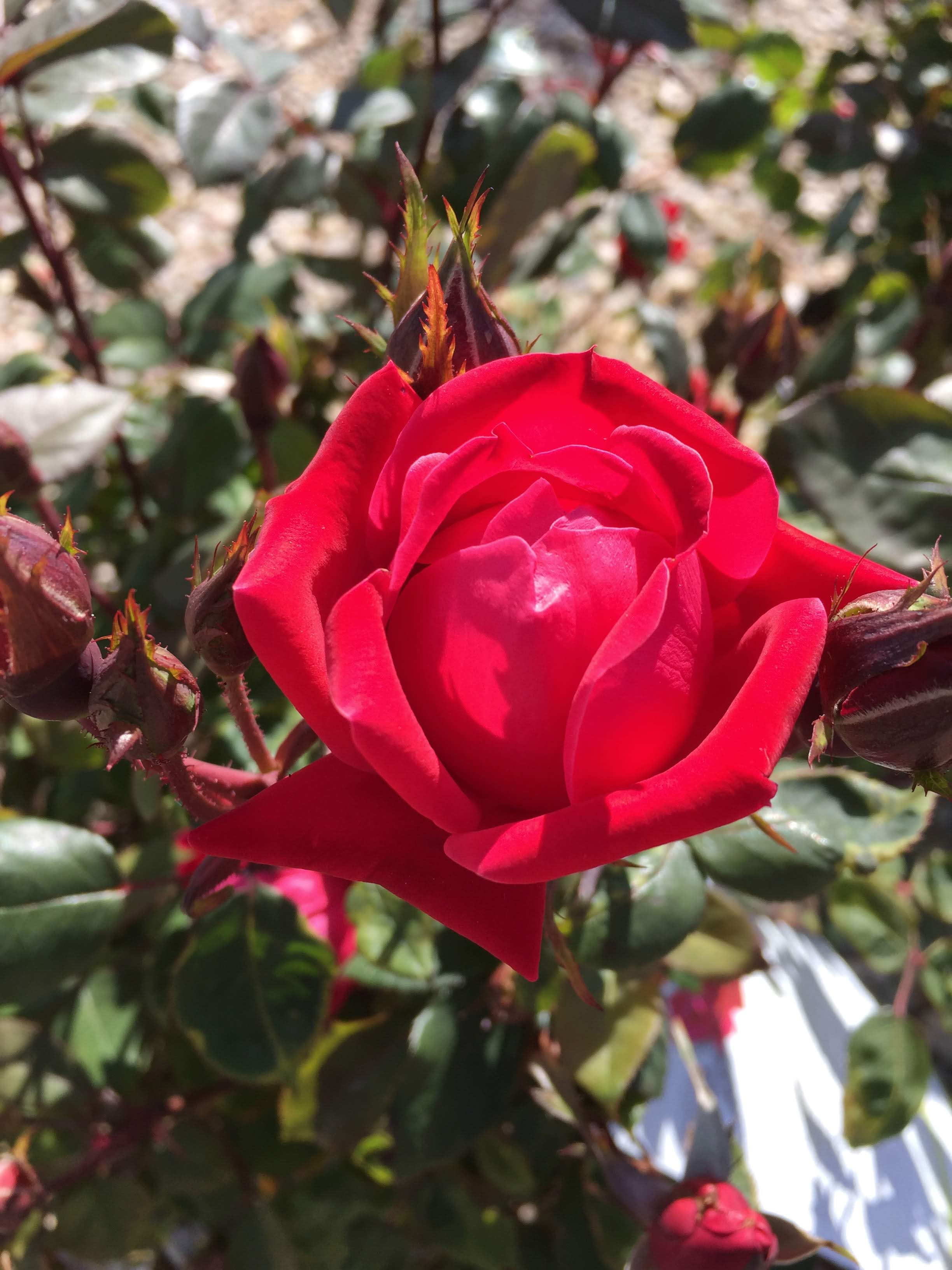 Double Knock Out Rose- Flowering shrub_