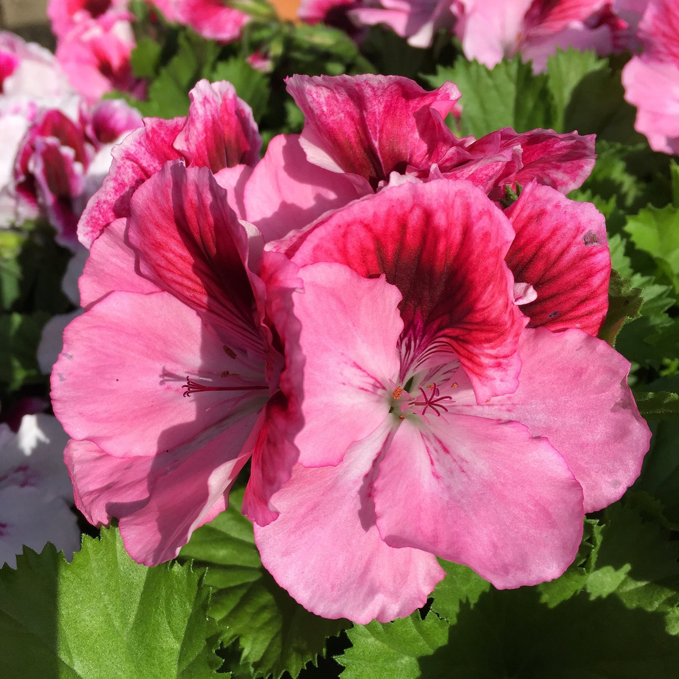 Martha Washington Geranium-Annual flower