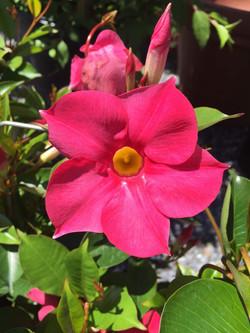 Mandevilla-Tropical flowering vine plant