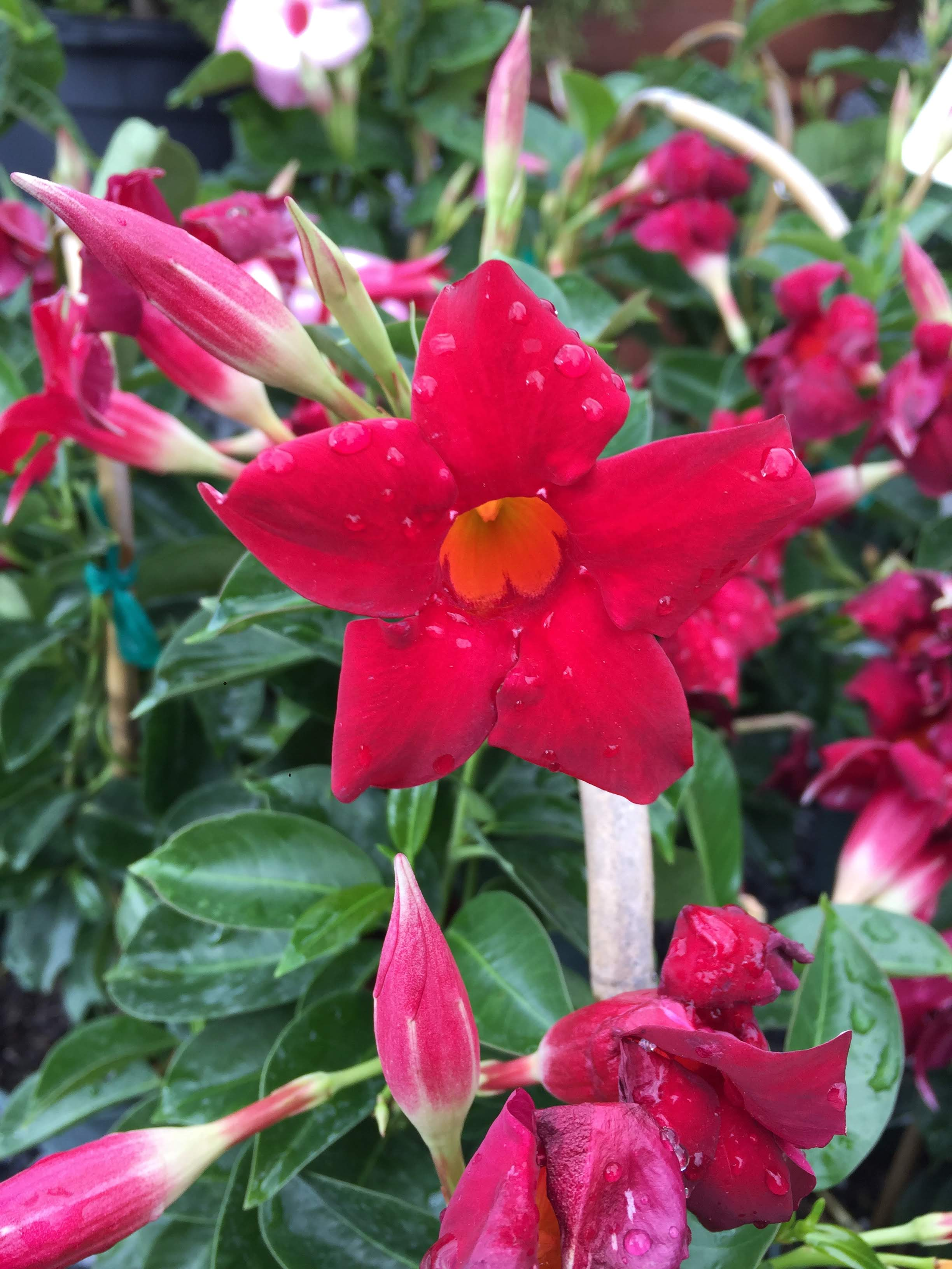 Mandevilla-Tropical flowering vine plant