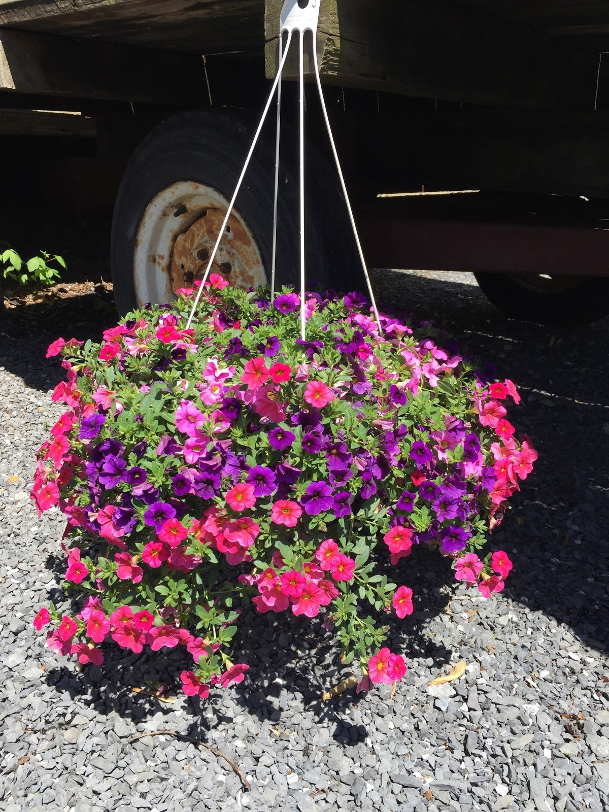 "12"" Hanging Basket-Million Bells combo."