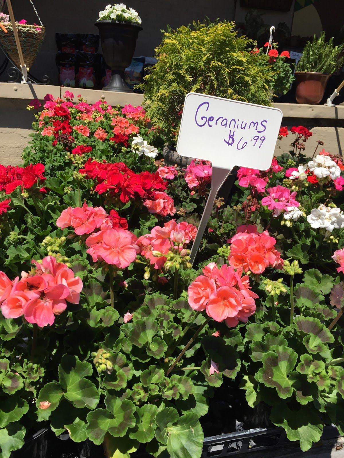 Geraniums-various colors.