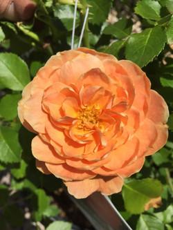 """""""At Last"""" Rose bush_"""