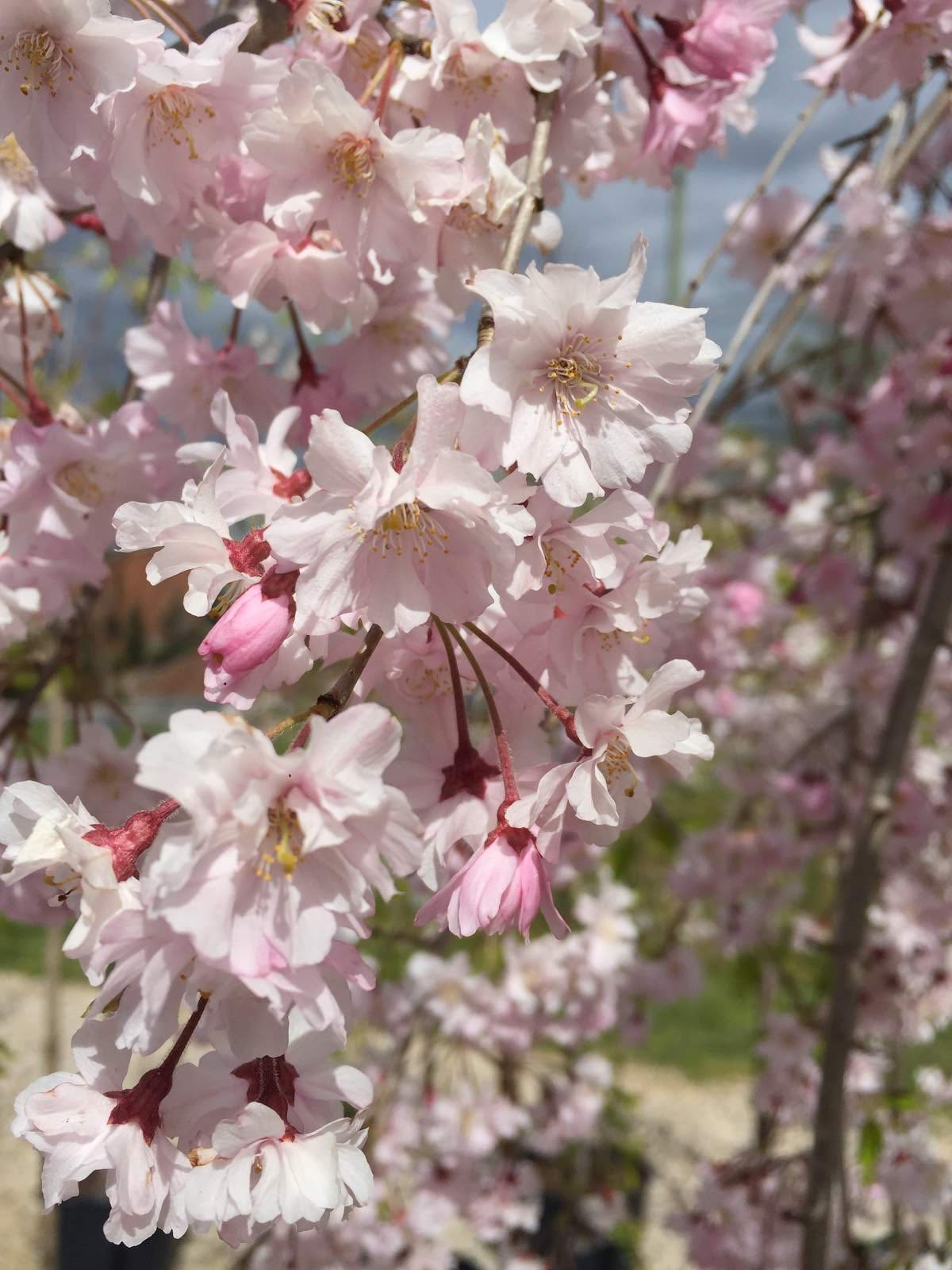 Double Pink Weeping Cherry tree