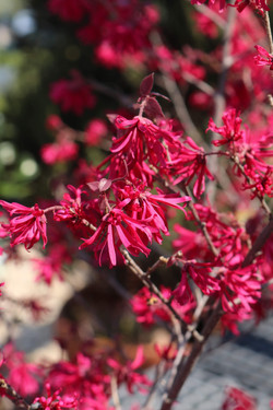"""Loropetalum """"Chinese Fringe"""" shrub"""