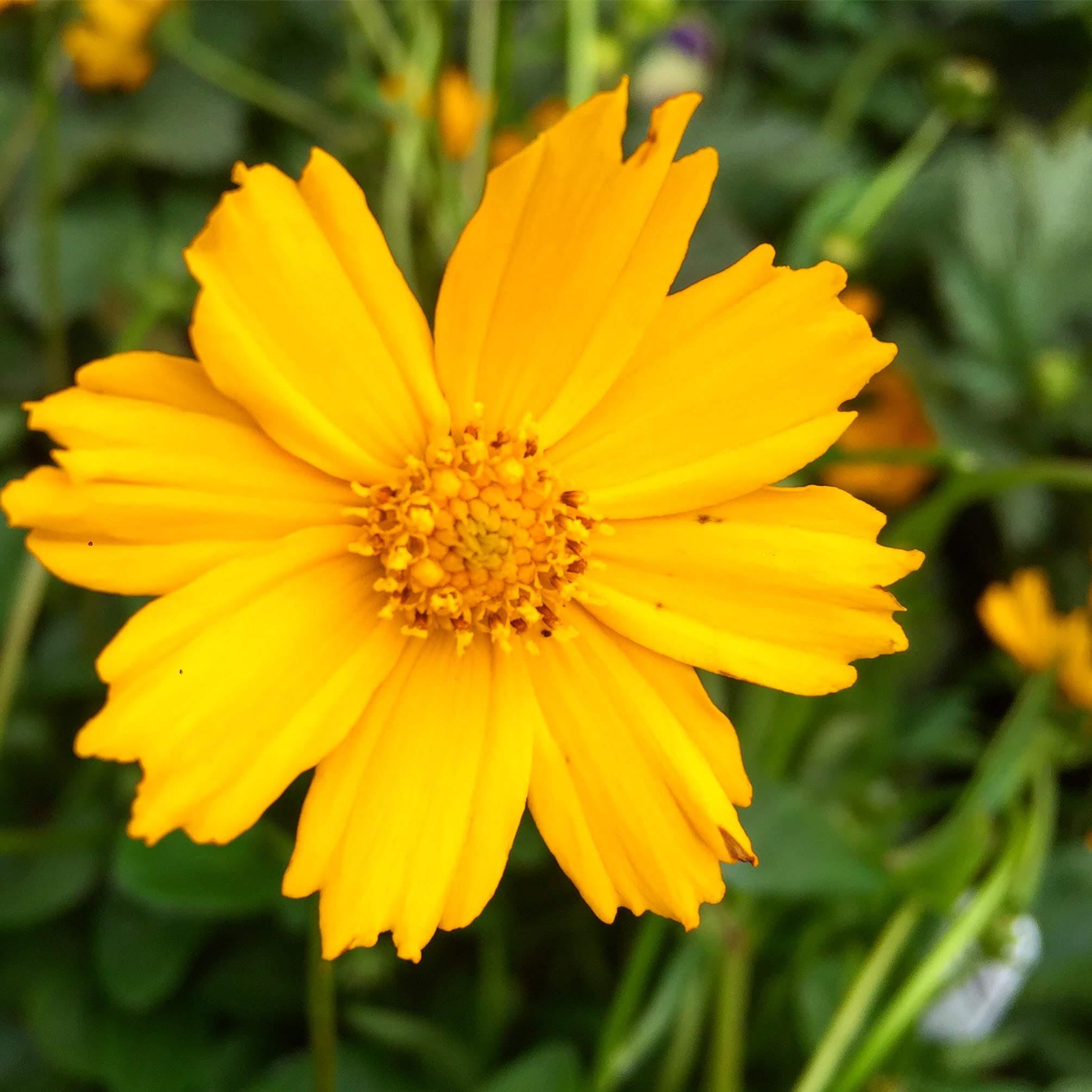 """Coreopsis """"Tickseed""""-Perennial_"""