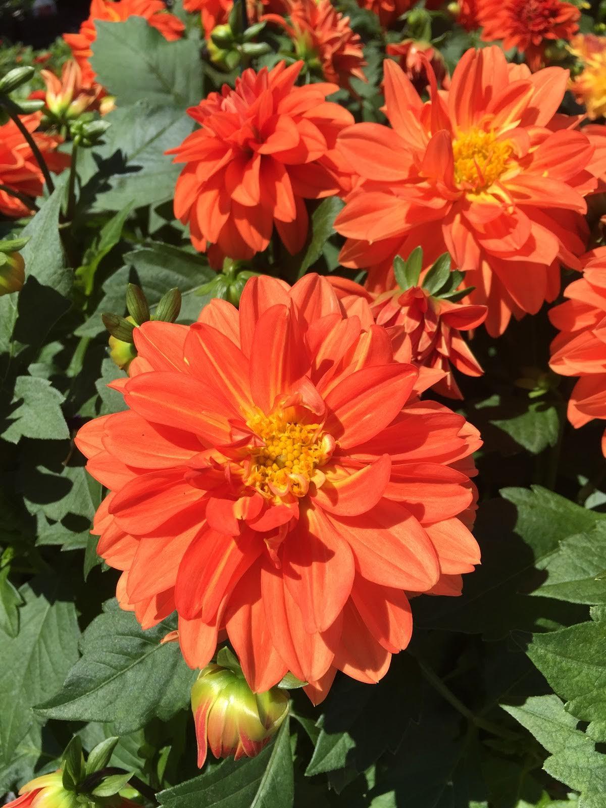 Dahlia-various colors