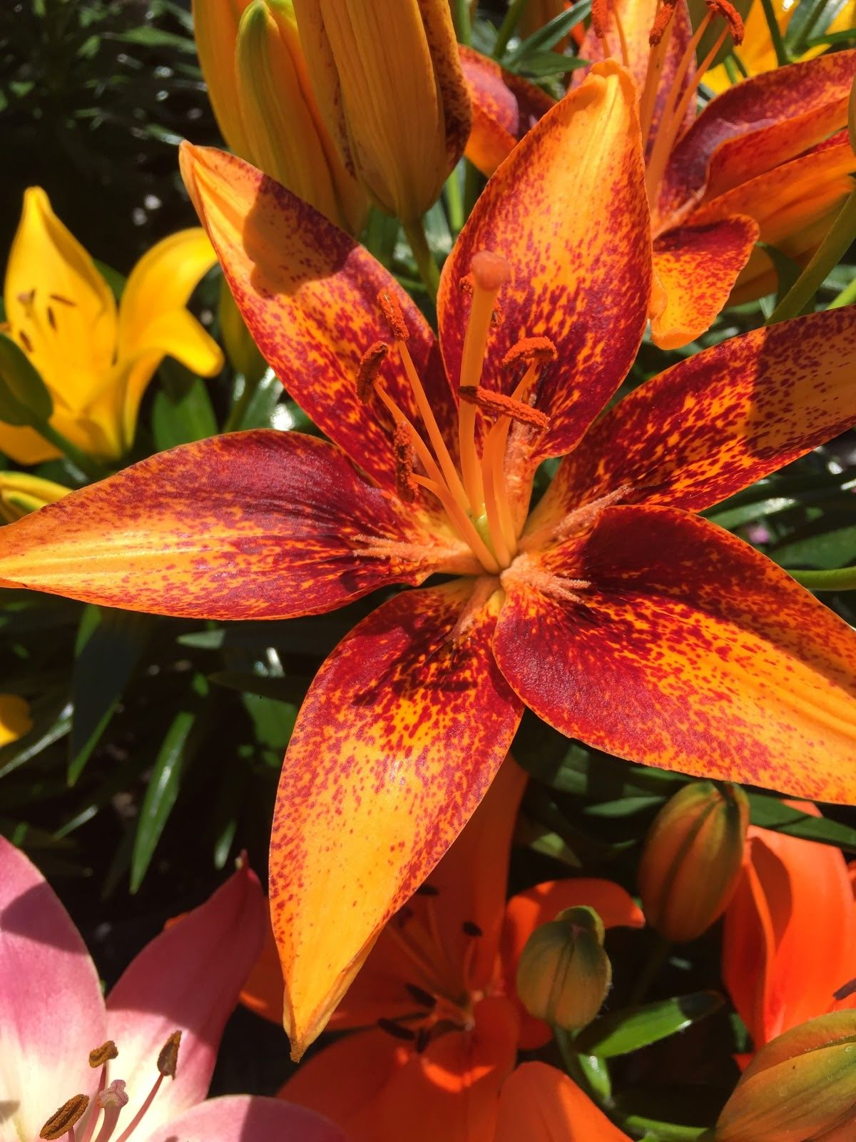Asiatic Lillies-various colors
