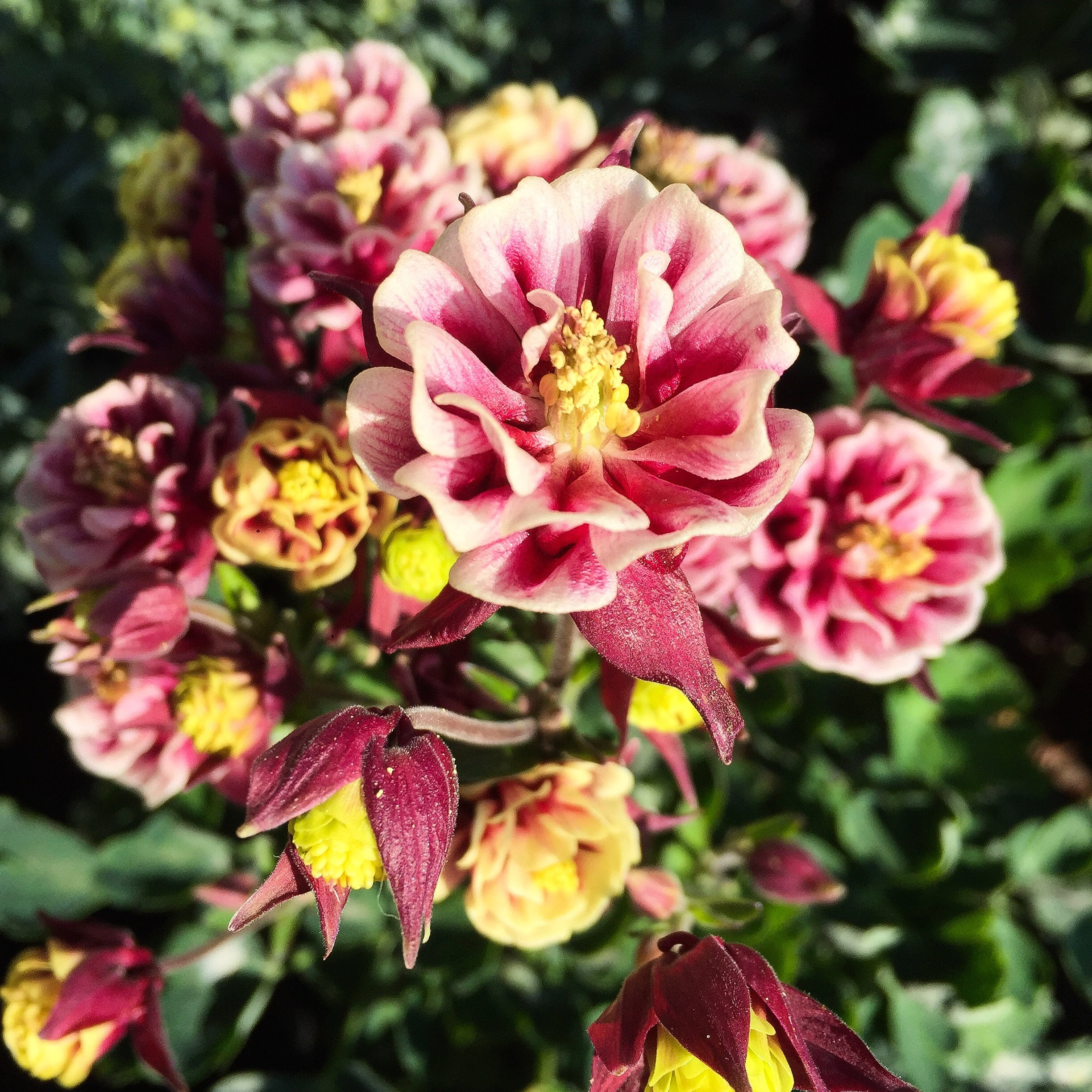 "Columbine ""Winky Double Red_White""-Peren"