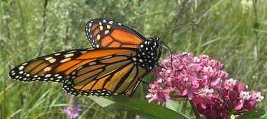 butterfly monarch.jpg