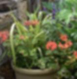 1box geranium.jpg
