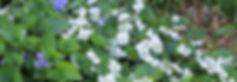 VioletsIMG_8867 copy.jpg