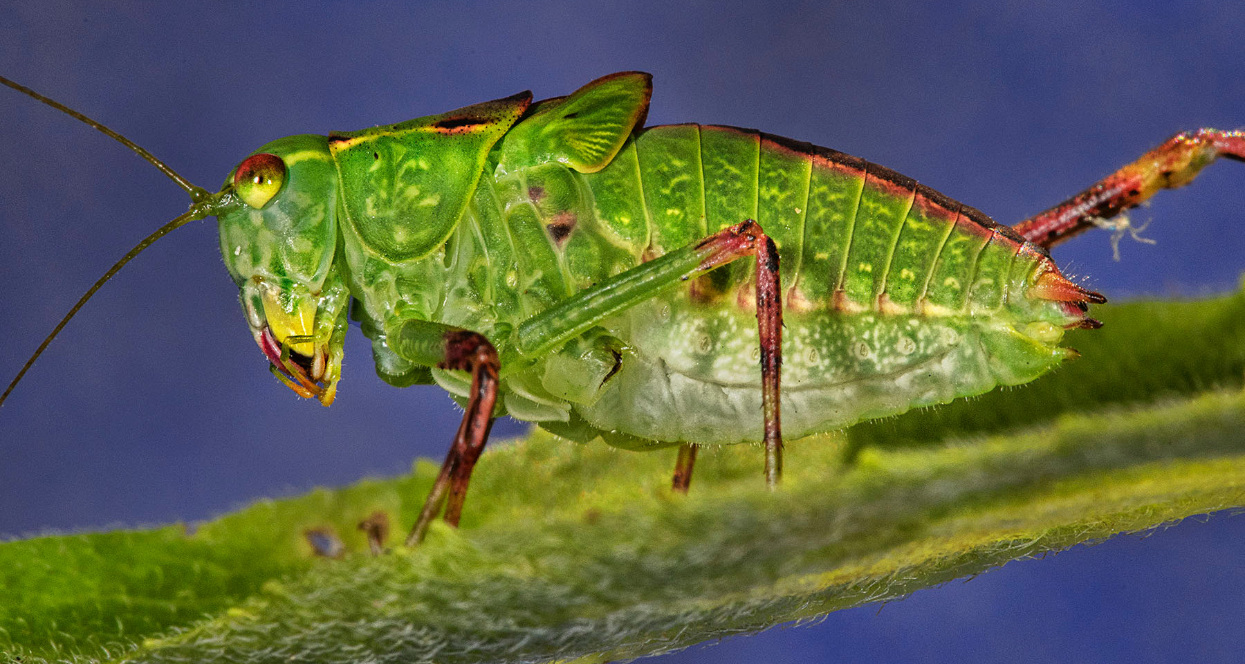 Grasshopper_043B-180711 copy.jpg