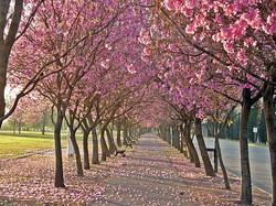 lapachos rosados.jpg