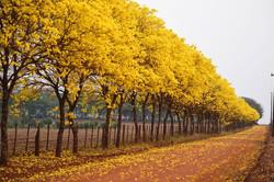 lapachos amarillos.jpg
